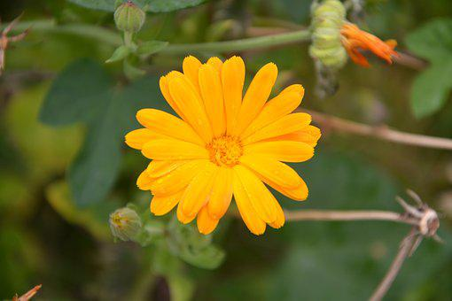 Flower, Marguerite Orange, Nature, Garden, Petals