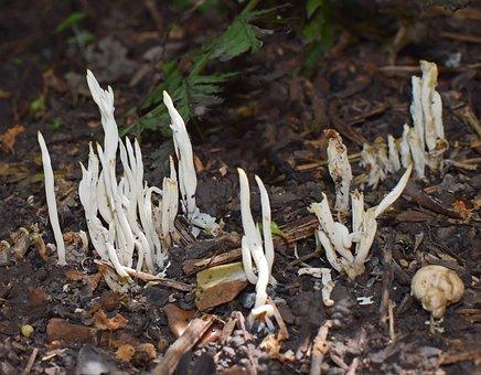Coral Fungi, Fungi, Mushroom, Plant, Forest Floor