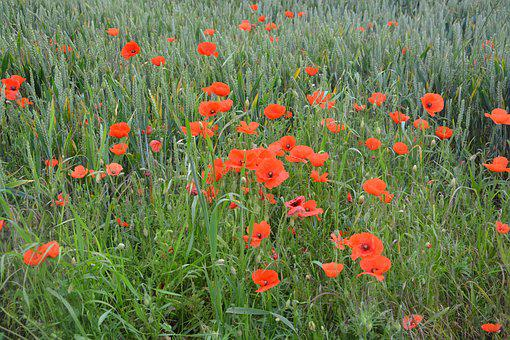 Poppies, Fields, Red Flowers, Nature, Country