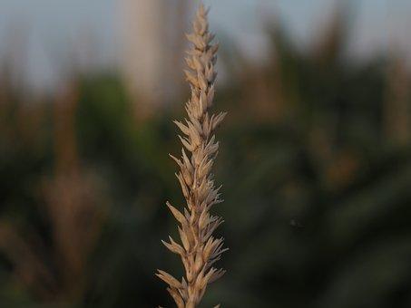 Ear, Cornstalk, Cereals, Nature, Agriculture, Grain