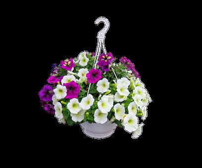 Nature, Flowers, Petunia, Traffic Lights