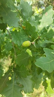 Oak, Acorns, Autumn, Nature, Acorn, Oak Acorns, Foliage