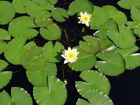 Flower, Lily Pad, Lily, Pond, Bloom, Pad