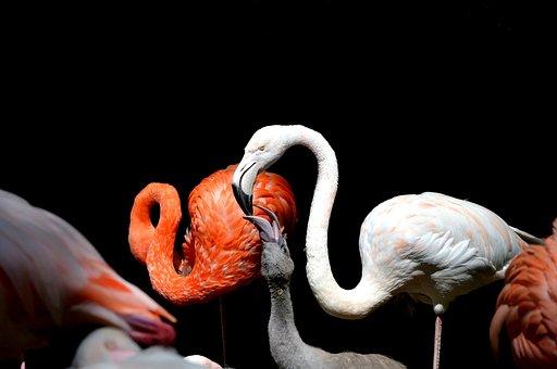 Flamingo, Bird, Pink, Bill, Plumage, Feather, Birds