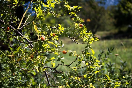 Rose Hip, Bush, Red, Autumn, Nature, Fruit, Wild Rose
