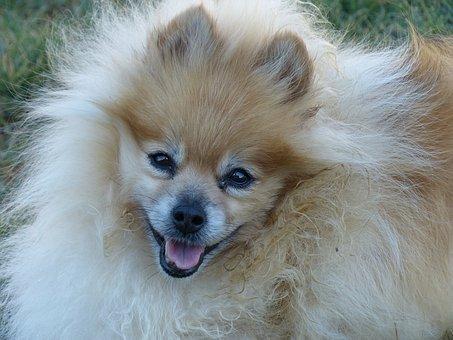Pomeranian, Blonde, Ginger Colored, Face, Smiling Dog