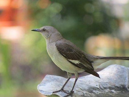 Bird, Songbird, Mockingbird, Wildlife, Close Up