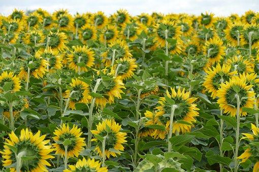 Sunflower, Flower, Plant, Nature, Sun, Yellow, Summer
