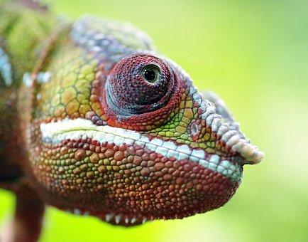 Chameleon, Gad, The Lizard, Eye, The Silhouette, Green