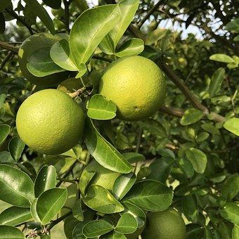 Orange, Fruit, Fruit Tree, Food, Tree, Citrus, Tropical