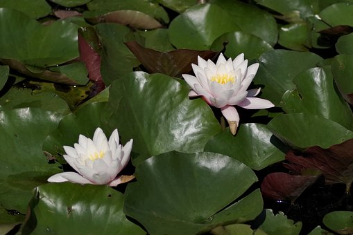 Water Lilies, Flower, Lily, Ornamental Plants, Pond