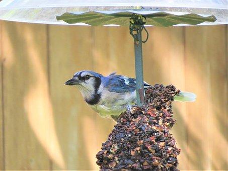 Bird, Blue And White, Blue Jay, Wildlife