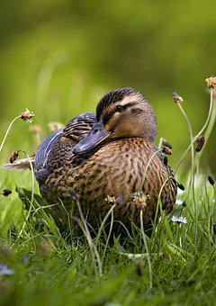 Mallard, Duck, Nature, Wildlife, Wild, Bird, Waterfowl