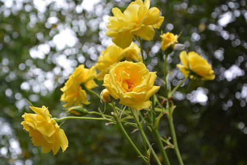 Rosebush, Yellow Roses, Flowers, Petals, Flowering