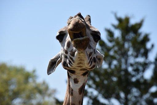 Giraffe, Zoom, Qilin