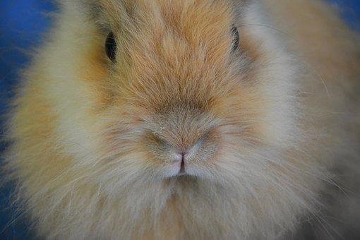 Rabbit, Nose, Face, Head, Rabbit Lion Head, Animal Face