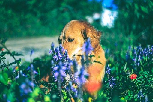 Dog, Pet, Golden, Puppy, Canine, Mutt, Animal, Shih Tzu