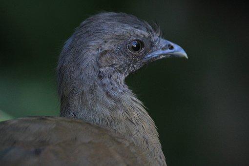 Chachalaca, Ave, Bird, Fauna, Nature, Animal, Animals