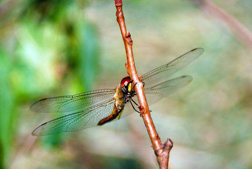 Dragonfly, Bug, Insect, Animal, Nature, Wildlife, Wing