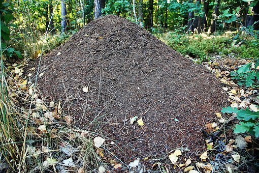 The Anthill, Ants, Forest, In The Forest, Insect