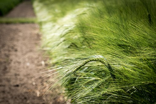Agriculture, Cereals, Barley, Field, Green, Grain