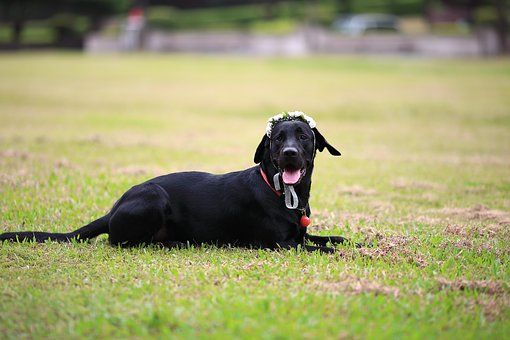 The Black Dog, Labrador, Lawn, Grassland, Bedroom