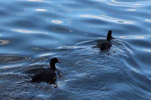 Birds, Coot, Duck Bird, Bird, Water Bird, Swim, Nature