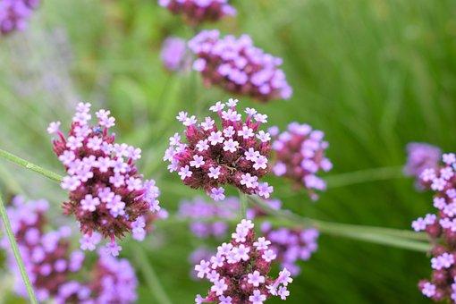 Flower, Purple, Floral, Summer, Nature, Blossom