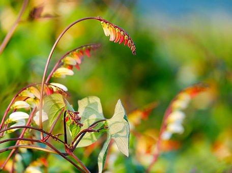 Star Winds, Quamoclit Lobata, Flower, Blossom, Bloom