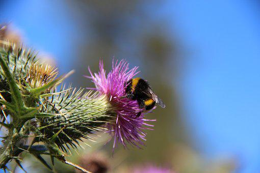 Hummel, Thistle, Blossom, Bloom, Insect, Nature, Flower