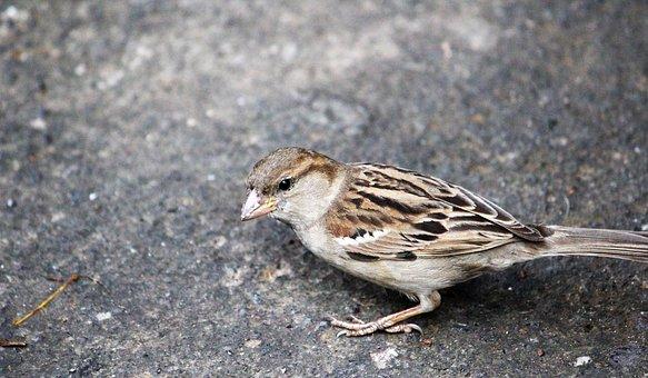 Bird, Sparrow, Feather, Cute, Brown