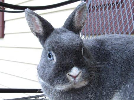 Bunny, Rabbit, Netherland, Dwarf, Cute, Adorable