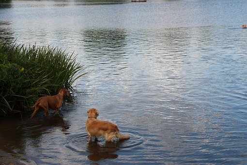 Dogs, Lake, Water, Cold, Nature, Golden Retriever