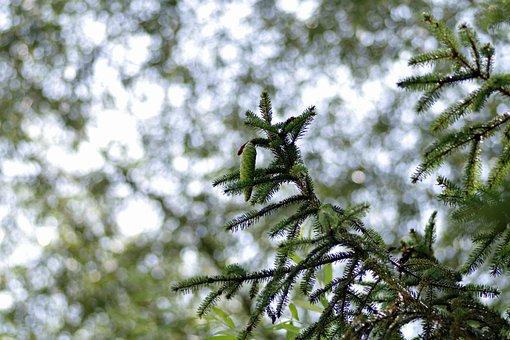 Spruce, Coniferous, Twigs, Green, Light, Needles