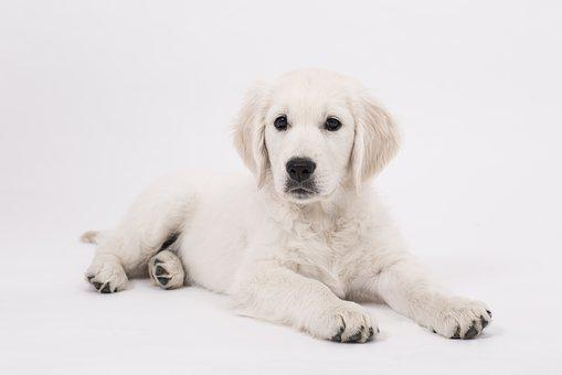 Dog, Golden Retriever, Puppy, Purebred Dog, Cute, Pet