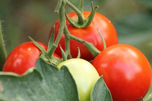 Tomatoes, Garden, Vegetable Garden, Flavor, Eating