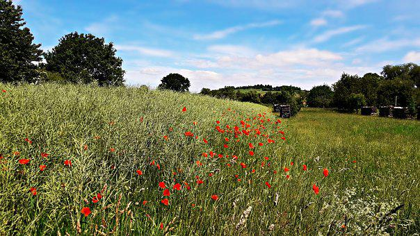 Field, Poppies, Meadow, Flowers, Red, Nature, Summer