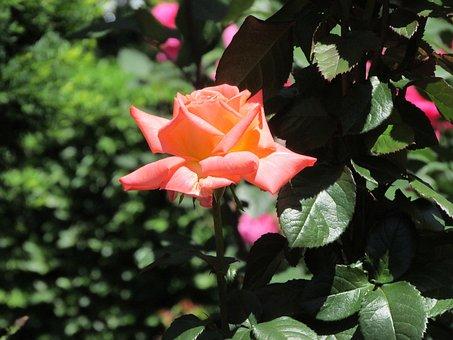 Rose, Flower, Floral, Nature, Blossom, Summer, Plant