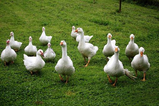Geese, Ducks, Flock, White, Bio, Grass, Meadow