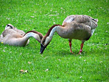 Goose, Geese, Birds, Nature, Pen, Wild Goose, Flying