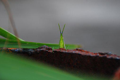 Grasshopper, Bug, Insect, Green, Nature, Wildlife