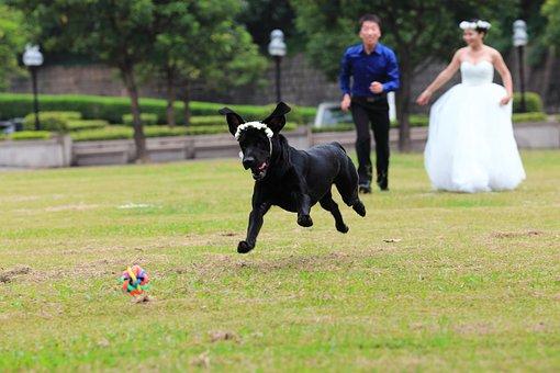 The Black Dog, Labrador, Lawn, Grassland, Run