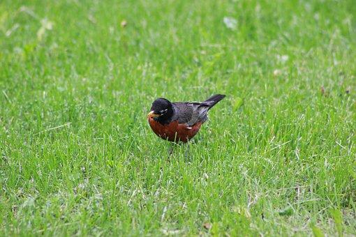 Robin, Lunch, Bird, Animal, Wildlife, Nature