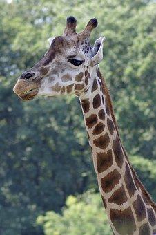 Giraffe, Neck, The Head Of The, Mammal, Animal, Exotic