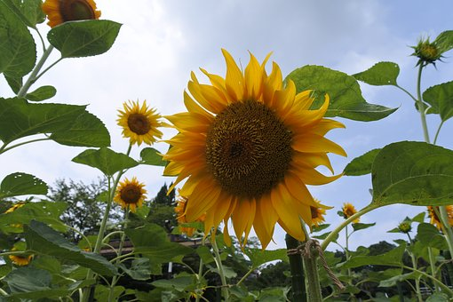 Sunflower, Summer, Yellow, Summer Flowers, Natural
