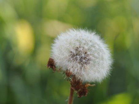 Dandelion, Seeds, Close, Macro, Nature, Pollen, Blossom