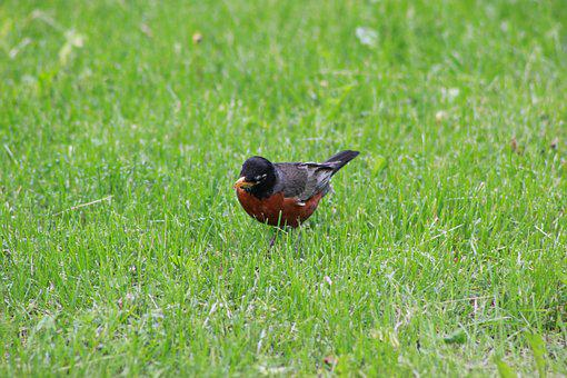 Robin, Lunch, Bird, Animal, Wildlife, Nature