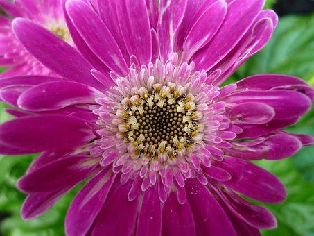 Gerbera, Flower, Pink, Composites, Nature, Garden