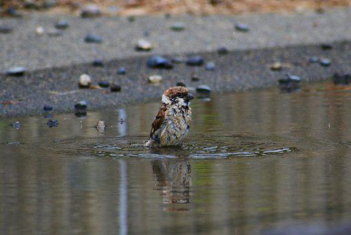 Animal, Pond, Waterside, Bathing, Little Bird, Sparrow