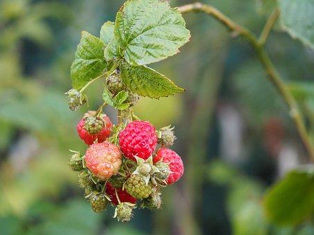 Raspberry, Fruit, Bio, Garden, Berries, Red, Berry
